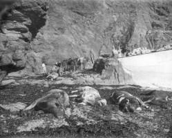 Carcasse delle mucche imbarcate sul Suffolk