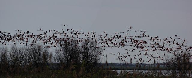 fenicotteri rosa parco delta po